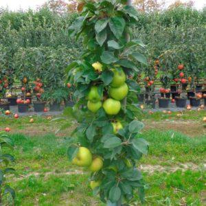 Goldcats æbler