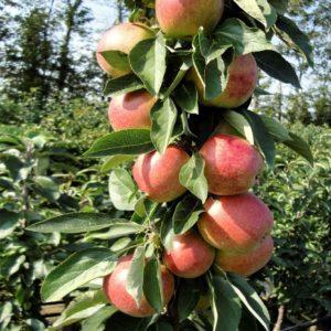 Redcats æbler