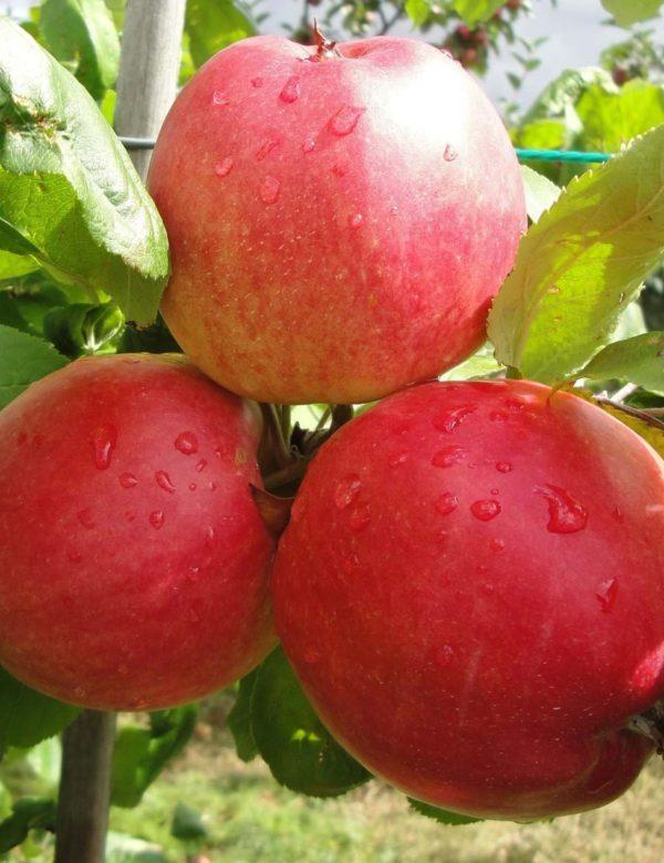 Søjle æbler